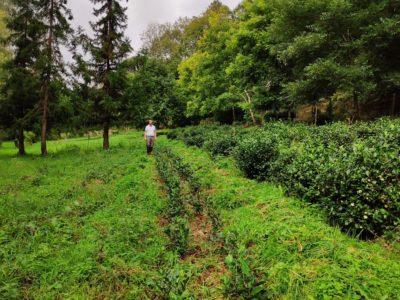 Bretagne, Languidic   Du thé vert bio de la vallée du Blavet