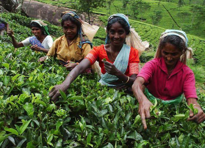 Les pratiques durables dans le secteur du thé… au-delà des certifications « bio » ou « équitable »